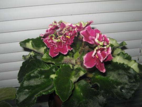 цветущие фиалки
