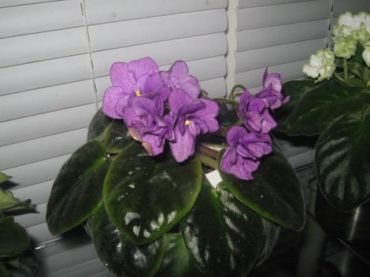 цветущие фиалки2