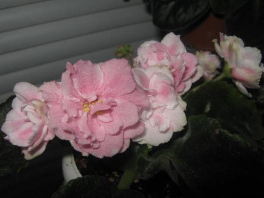цветущие фиалки5