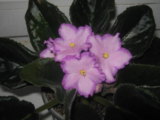 цветущие фиалки 7