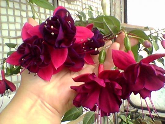 3c30e61fd4e9d Последнее фото - Grundi See, у нее тоже должны быть крупные цветы, только  кустик пока очень маленький и силенок нет. Не знаю, как переживут зиму, ...
