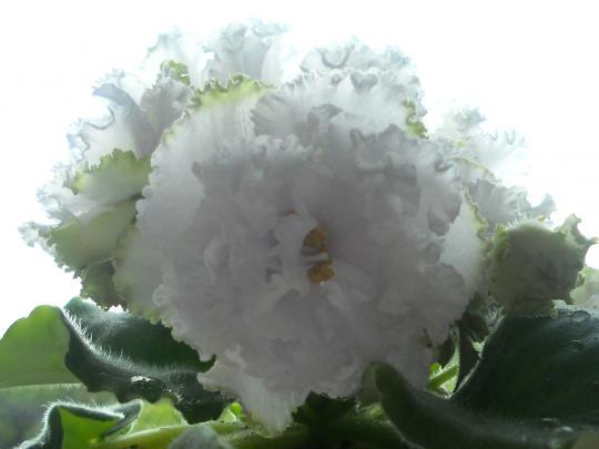 фиалка снежное кружево фото
