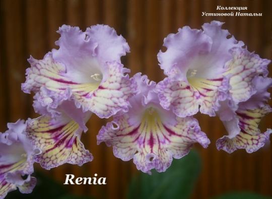 renia стрептокарпус фото